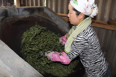Harvesting Pu-Erh Tea Leaves